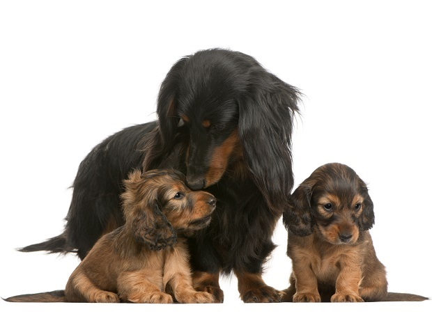 Mother Dachshund and her dachshund puppies
