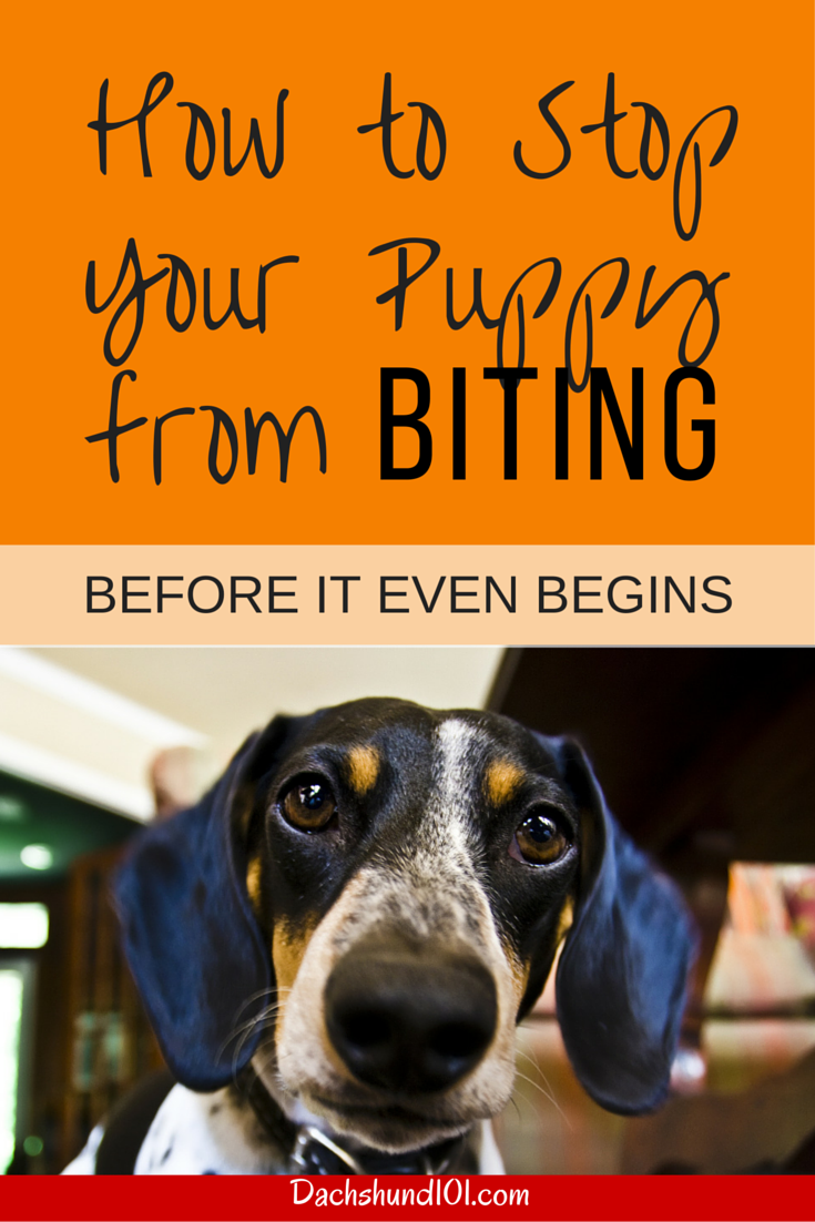 How to Stop a Puppy from Biting and Mouthing from the very beginning. But you can also stop puppy from biting even later on at http://Dachshund101.com/how-to-stop-a-puppy-from-biting/